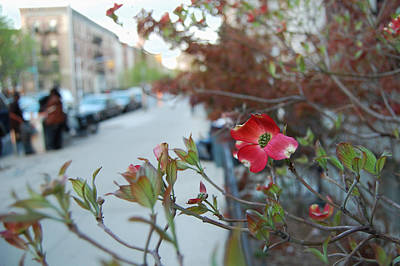 Dogwood Photograph - A Dogwood Grows In Brooklyn by Julie VanDore