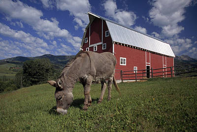 A Donkey Grazing Near A Large Red Barn Art Print by Ed George
