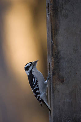 Picoides Pubescens Photograph - A Downy Woodpecker, Picoides Pubescens by Joel Sartore
