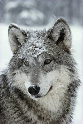 Natural Forces Photograph - A Dusting Of Snow Lies On The Face by Jim And Jamie Dutcher