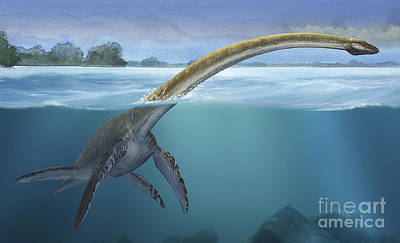 A Elasmosaurus Platyurus Swims Freely Art Print by Sergey Krasovskiy
