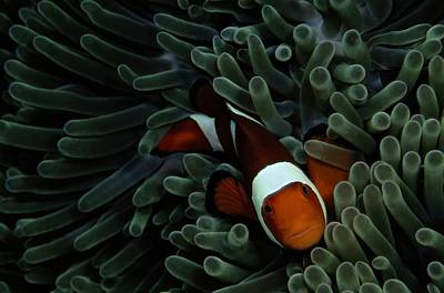 Amphiprion Ocellaris Photograph - A False Clown Anemonefish Amphiprion by Wolcott Henry
