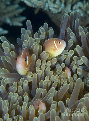 A Family Of Pink Anemonefish Art Print by Steve Jones