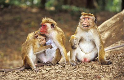 A Family Of Toque Macaque Breast Art Print by Jason Edwards