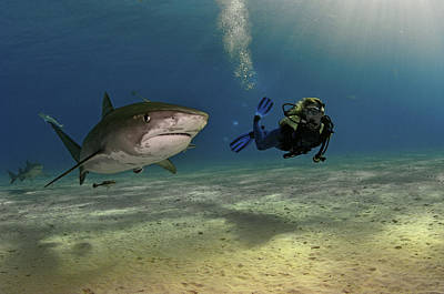 A Female Diver Swims With Tiger Sharks Art Print by Brian J. Skerry