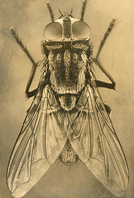 A Female House Fly Resting On Glass Art Print by N.A. Cobb
