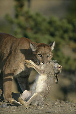 Rabbit Hunting Photograph - A Female Mountain Lion by Norbert Rosing