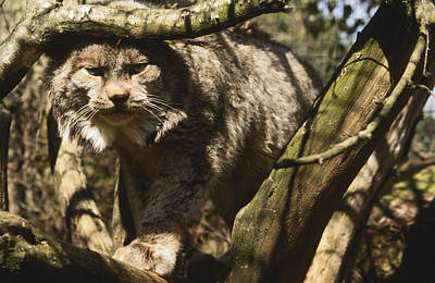Dappled Light Photograph - A Female Northern Lynx With Her Thick by Jason Edwards
