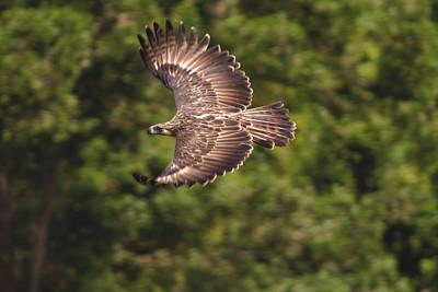 A Female Philippine Eagle Leaving Art Print