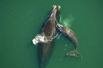 A Female Right Whale Gets A Playful Art Print by Brian J. Skerry