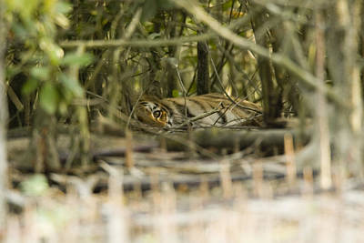 A Female Tiger Rests In The Undergrowth Art Print by Tim Laman