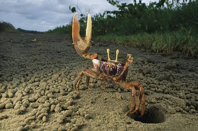Gabon Photograph - A Fiddler-type Crab With Claw Raised by Michael Nichols