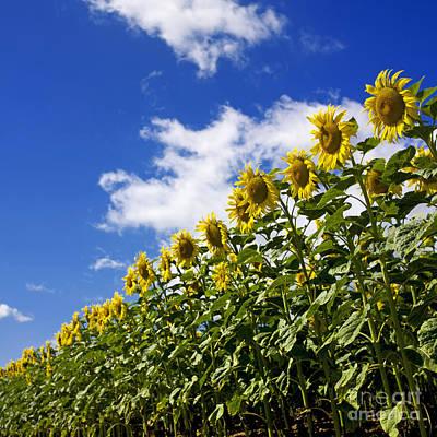 A Field Of Sunflowers . Auvergne. France Art Print by Bernard Jaubert