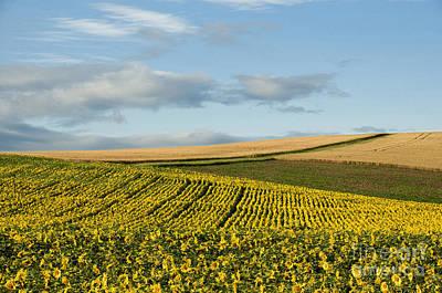 A Field Of Sunflowers . Limagne. Auvergne. France Art Print by Bernard Jaubert