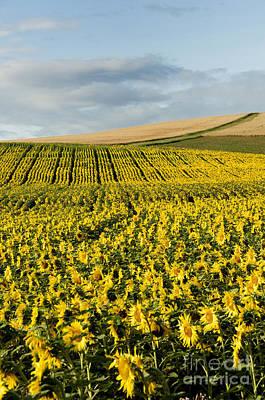 A Field Of Sunflowers Art Print by Bernard Jaubert