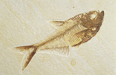 Collectors Corner Wall Art - Photograph - A Fish Fossil, Diplomystus Dentatus by Jason Edwards