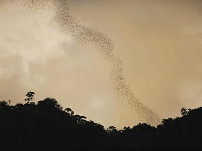 Danum Valley Conservation Area Photograph - A Flight Of Bats Streams From A Dark by Mattias Klum