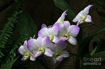 Photograph - A Flight Of Orchids by Byron Varvarigos