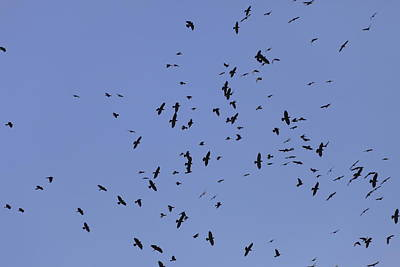 Owls - A flock of Jackdaws by Ulrich Kunst And Bettina Scheidulin