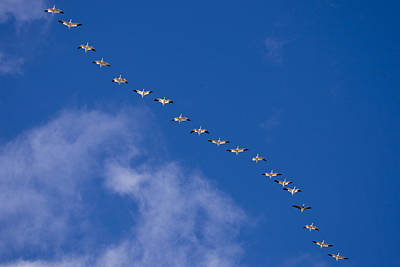 The Flight Of The Snow Geese Photograph - A Flock Of Snow Geese Chen by Ralph Lee Hopkins