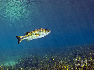 A Florida Largemouth Bass Swims Art Print by Terry Moore