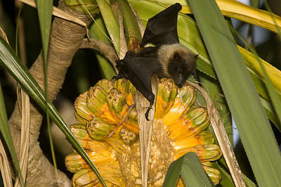 Kosrae Island Photograph - A Flying Fox Feeds On The Fruit by Tim Laman
