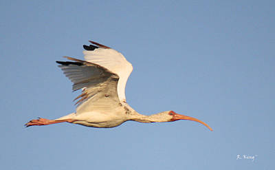 Photograph - A Flying White Ibis by Roena King