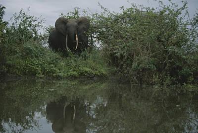 Gabon Photograph - A Forest Elephant In Gabons Loango by Michael Nichols