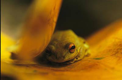 Gabon Photograph - A Frog Resting On A Yellowed Leaf by Michael Nichols