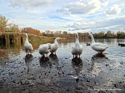 Mixed Media - A Gaggle Of Geese 1 by Bruce Ritchie
