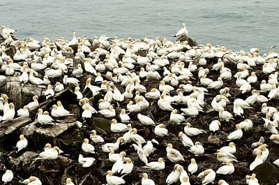 A Gathering Of The Gulls Original