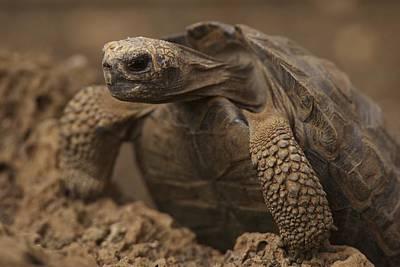 A Giant Galapagos Tortoise Crawling Art Print