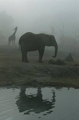 A Giraffe And Elephant Live In The Same Art Print by Michael Nichols