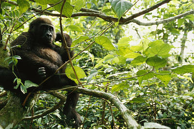 Gabon Photograph - A Gorilla Sitting In A Treetop by Michael Nichols
