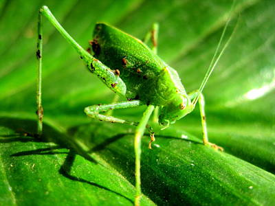 Photograph - A Grasshopper Cleans Itself by Catherine Natalia  Roche