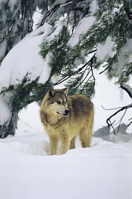 A Gray Wolf Stands Under Art Print by Norbert Rosing