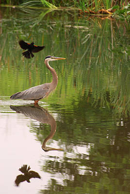 A Great Blue Heron In A Pond Is Mobbed Art Print by Darlyne A. Murawski