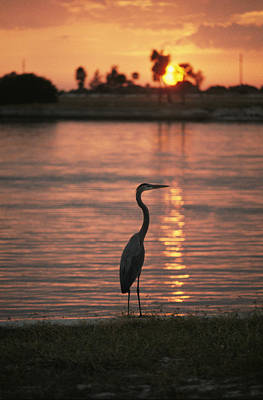 Natural Forces Photograph - A Great Blue Heron In Silhouette by Bill Curtsinger