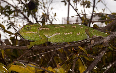 Abstract Animalia - A Green Chamaeleonidae by Focus  Fotos