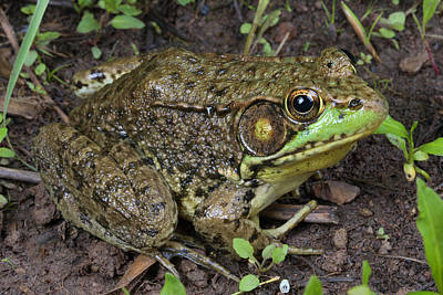 Pause Photograph - A Green Frog Pauses At The Edge by George Grall