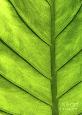 Photograph - A Green Leaf by Sabrina L Ryan