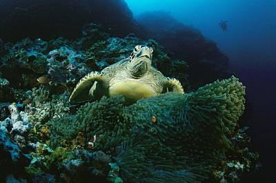 Green Sea Turtle Photograph - A Green Sea Turtle Among Sea Anemones by Tim Laman