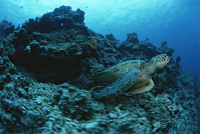 Green Sea Turtle Photograph - A Green Sea Turtle, Chelonia Mydas by Tim Laman