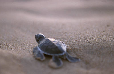 Green Sea Turtle Photograph - A Green Sea Turtle Hatchling Races by Jason Edwards