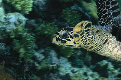 Green Sea Turtle Photograph - A Green Sea Turtle Swimming By A Reef by Wolcott Henry
