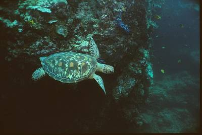 Green Sea Turtle Photograph - A Green Sea Turtle Swimming In A Reef by Tim Laman