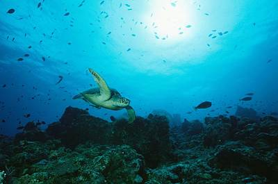 Green Sea Turtle Photograph - A Green Sea Turtle Swimming Over A Reef by Tim Laman
