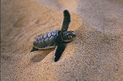 Green Sea Turtle Photograph - A Green Turtle Hatchling Struggling by Wolcott Henry