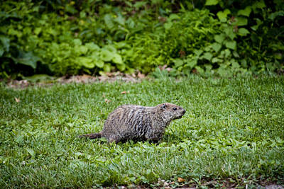 A Groundhog Marmota Monax Enjoys A Meal Art Print
