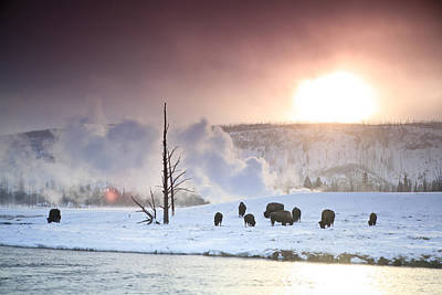 A Group Of Bison Feeding In The Snow Art Print